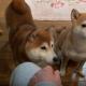 【わんこ動画】かまってかまって!頑張るかわいい柴犬に癒やされる♡
