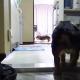 【わんこ動画】飼い主を待つ犬たちのお留守番の様子を覗いてみました