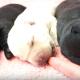 【わんこ動画】キュートすぎる!赤ちゃんラブラドールの寝言