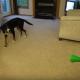 【わんこのおもしろ動画】vsブブゼラ!犬が勝ったけど、この勝ち方ってずるくない?