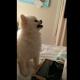 【わんこ動画】衝撃!愛らしすぎるポメラニアンのくしゃみ