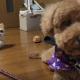【わんこ動画】トリミング後のプードルの姿に、猫の疑いの眼差しが…