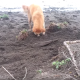 【わんこ動画】木の棒を埋めたいの?ひたすらに穴を掘るワンちゃんの目的は?